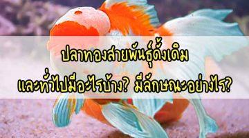 ปลาทอง ปลาทองสายพันธุ์ดั้งเดิม และทั่วไปมีอะไรบ้าง? มีลักษณะอย่างไร?